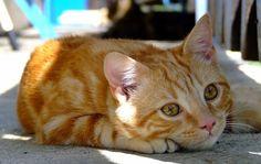 Photo de chat tabby roux commun