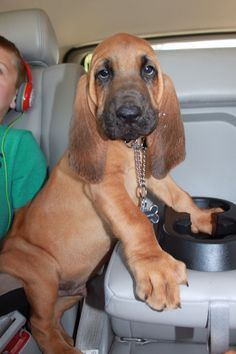 Boone the Bloodhound, it doesn't get much cuter than this! That belly! Cute Dogs And Puppies, I Love Dogs, Doggies, Cute Funny Animals, Cute Baby Animals, Bloodhound Puppies, Beagles, Beautiful Dogs, Animals Beautiful