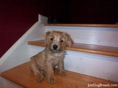 norfolk terrier puppy!