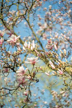 Magnolias at Victoria Park, Kitchener Magnolias, Tiny Flowers, Ontario, Victoria, Canada, Park, Plants, Magnolia Trees, Parks