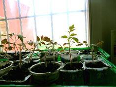 A pet-palackos csodamódszer: így lesz extra hozamú a paradicsomod | Nagybetűs Élet Gardening, Pets, Garten, Lawn And Garden, Garden, Square Foot Gardening, Garden Care, Horticulture