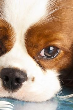 """Cavaliers live to be with their individuals. The ideal home is one with a stay-at-home moms and dad, work-at-home partner or retired couple. The pets normally enjoy kids and succeed in households with older kids who will throw a ball for them, teach them tricks or simply socialize with them. Because of their little size, however, Cavaliers should be secured from awkward young children who might fall on them or """"animal"""" them with too much force. Frazzled From Wrangling A Wild Pooch? F"""