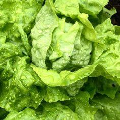 By kleintiereonline.de. . Salatüberschuss im Garten. Wenn die Vegetation ihren Höhepunkt erreicht, dann ist es normal, dass sich Ueberschüsse bilden. Wir essen jeden Tag Salat und halten dies auch für sehr gesund. Der Kopfsalat auch Häuptlsalat wird sowohl im Freien wie auch im Gewächshaus angepflanzt. Gewisse Sorten sind leicht frostresistent. Im Anbau brauchen sie einen sonnigen Standort und eine gute Wasserversorgung. . #kopfsalat #häuptlsalat #gartensalat #gewächshaus #freiland #standort… Lettuce, Vegetables, Food, Water Supply, Berries, Healthy, Essen, Vegetable Recipes, Meals