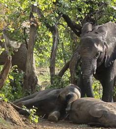 All About Elephants, Save The Elephants, Baby Elephants, Nature Animals, Animals And Pets, Baby Animals, Cute Animals, Adopt An Elephant, Cute Baby Elephant