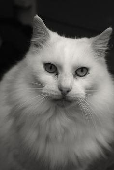 White cat by ediibeckner.deviantart.com on @deviantART