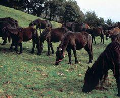 Asturias Spain, Cuban Art, Vertebrates, Zebras, Mammals, Pony, Horses, Nature, Donkeys