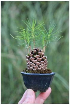 Push soil into pine cone So seeds sprout.