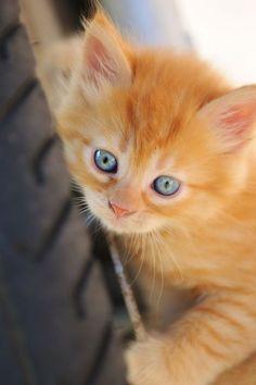 ผลการค้นหารูปภาพสำหรับ orange cat blue eyes