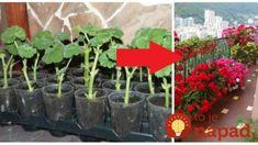 Najlepšia rada, ako na priesady muškátov: Spravte s nimi to, čo robí moja svokra a budú vám kvitnúť ako o závod! Gardening, Plants, Compost, Lawn And Garden, Plant, Planets, Horticulture