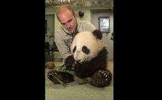 Veterinário checa os batimentos e a respiração de Xiao Liwu, um jovem panda-gigante de 6 meses de idade, no Zoológico de San Diego, na Califórnia. Exames de rotina indicaram na manhã de quarta-feira (30) que o animal, com 8,8 kg, está crescendo com saúde.