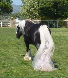 St. Clarins_choc silver dapple stallion. His tail looks like a frothy waterfall !!