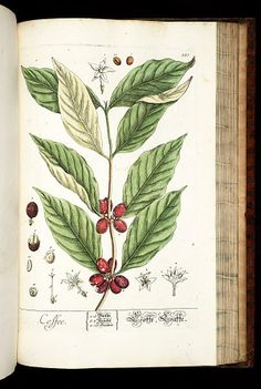 - Herbarium Blackwellianum emendatum et auctum, id est, Elisabethae Blackwell collectio stirpium : ca. Botanical Illustration, Botanical Prints, Illustration Art, Barista, Elizabeth Blackwell, La Malmaison, Growing Greens, Coffee Plant, Coffee Packaging