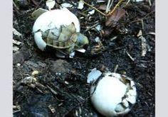 """Résultat de recherche d'images pour """"tortues de terre"""""""
