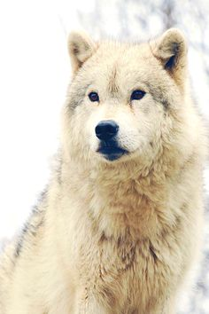 siberian huskies for dummies pdf download