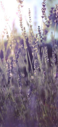 Iphone Wallpaper lavender
