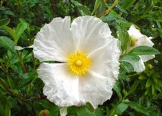 Cistus 'Bennet's White' for hot climates