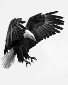Bald eagle in a beautiful black and white picture