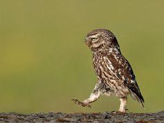 Grumpy owl   PostKitty