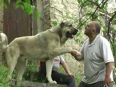 Armenian Gampr #Dog #Puppy #Hound #Chien #Perro #hond #hund #Cane #Koira #Dogs #Puppies #Pup #Pooch