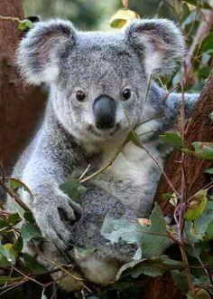 Amazing wildlife. Koalas photo