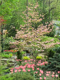 I have a few of these Flowering Dogwood trees- BHG -favorite small trees article.
