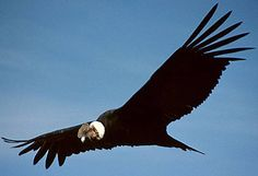 Andean Condor - The mythical South American largest wingspan bird is a gruesome scavenger but an essential part of ecosystem. World Birds, Animals Of The World, Scavenger Birds, Dk Find Out, Largest Bird Of Prey, Andean Condor, California Condor, What Is A Bird, Kinds Of Birds