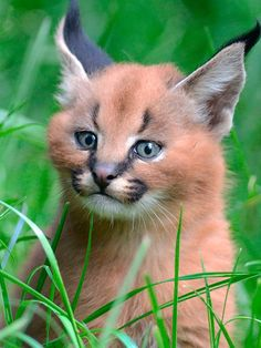 Caracal kittens born at Dvur Kralove Zoo, Czech Republic - 01 Jul 2015 Caracal Caracal, Baby Caracal, Caracal Kittens, Cats And Kittens, Serval, Animals And Pets, Baby Animals, Cute Animals, Big Cats