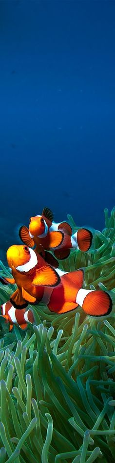 Clown fish hanging out in some anemones.