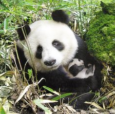 Panda Bears awww, baby pandas, animals, bear lgailb, beauti, babi, ador, thing, panda bears