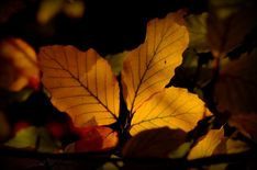 Photo listed in Nature Shot taken with NIKON 36 shares, 51 likes and 657 views. Nikon D5100, Autumn Leaves, Plant Leaves, Nature, Plants, Photography, Fall Leaves, Autumn Leaf Color, Flora