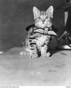 """""""Aircrew"""" the kitten, mascot of Royal Australian Air Force (RAAF), flying training school, March 24, 1943. <3 Those tough soldiers and their kittens... :)"""