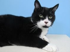 This handsome guy is looking for a mellow, low traffic home where he is pampered and adored. He is diabetic so he will need regular vet visits, a special diet and daily insulin. Buttons can be nervous in new situations but give him the time he needs to adjust and he'll be your friend in no time.  Buttons may do best in a quiet home without small children. Once he feels comfortable, Buttons gives the best head-butts and purrs like a champ! Give this gorgeous boy a second chance at love! A ...