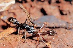 Para a predadora Pachycondyla striata, outras espécies, como o Odontomachus chelifer, servem de alimento