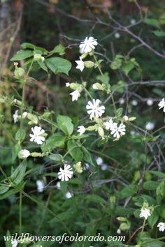 Silene noctiflora - Silène noctiflore - Night-flowering Catchfly