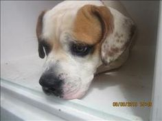 13-08-3043 is an adoptable American Bulldog Dog in Dallas, GA.  Primary Color: White Secondary Color: Tan Age: 0yrs 0mths 0wks...
