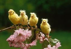 Canaries in the garden.