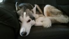 Tyler #huskys #siberian #schlittenhunde #husky #dogs #dog #hund #hunde #hundeliebe