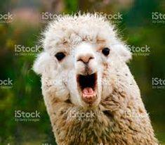 Image result for alpaca