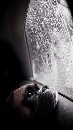 Boxer dog sitting in a car  looking out a window at the rain ❤️