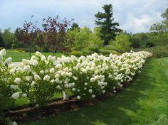 Limelight Hydrangeas (Burlington Retreat - Traditional - Landscape - Burlington - Linden L.A.N.D. Group)