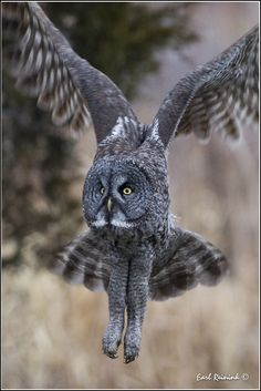 Great Gray Owl (20111227-1334) | by Earl Reinink