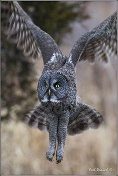 Great Gray Owl (20111227-1334) | by Earl Reinink