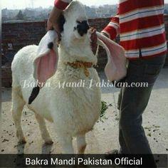 KAJLA LOVERS QUALITY BATAO ZARA ... ALLAH PAAK QURBANJ QUBOOL FERMAIN  AMEEN Join us on www.fb.com/Startfun Visit us www.BakraMandiPakistan.com