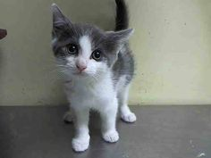 TO BE DESTROYED 6/27/14 ** BABY ALERT! * sweet kitten ** Staten Island Center  My name is YODELL. My Animal ID # is A1004161. I am a male gray and white domestic sh mix. The shelter thinks I am about 8 WEEKS old.  I came in the shelter as a STRAY on 06/22/2014 from NY 10308. I came in with Group/Litter #K14-182970.