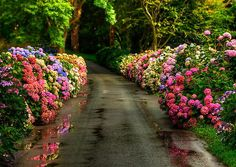 I have never seen so many colors of Hydrangea. Garden Paths, Garden Landscaping, Beautiful Flowers, Beautiful Places, Elegant Flowers, Simply Beautiful, Colorful Flowers, Vibrant Colors, Flower Road