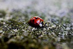 Lienka II ladybird