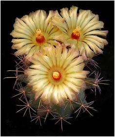 Coryphantha scheeri