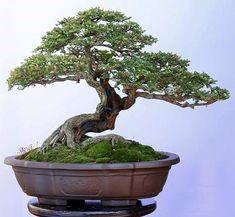 """802 Likes, 2 Comments - Rony ribeiro (@ronnyslash) on Instagram: """"#bonsai #trees #trees"""""""