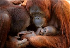 Orangutan Luna holds her baby Malu, with dad leaning in, at Busch Gardens theme park in Tampa Bay, Florida. Photo by Emily Cassell posted by the Orangutan SSP (SSP = species survival plan)