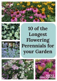 For non-stop color, plant the longest flowering perennials in your garden! For non-stop color, plant the longest flowering perennials in your garden! For non-stop color, plant the longest flowering perennials in your garden! Garden Shrubs, Shade Garden, Lawn And Garden, Full Sun Garden, Cut Garden, Garden Grass, Rock Garden Plants, Summer Garden, Winter Garden
